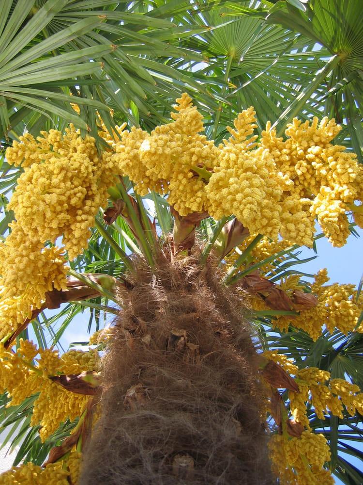 palmier en fleurs par serge piguet sur l 39 internaute. Black Bedroom Furniture Sets. Home Design Ideas