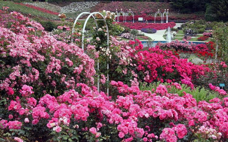 parterre de roses par patrick le coz sur l 39 internaute