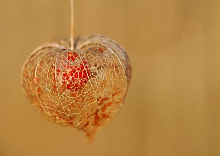 Physalis ou amour en cage par christelle milesi sur l 39 internaute - Fruit cage d amour ...