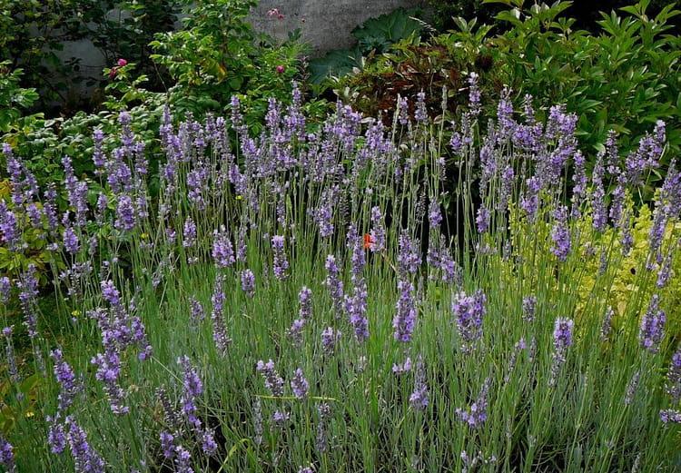 Pied de lavande au fond du jardin par jacqueline dubois sur l 39 internaute - Pied de lavande pas cher ...