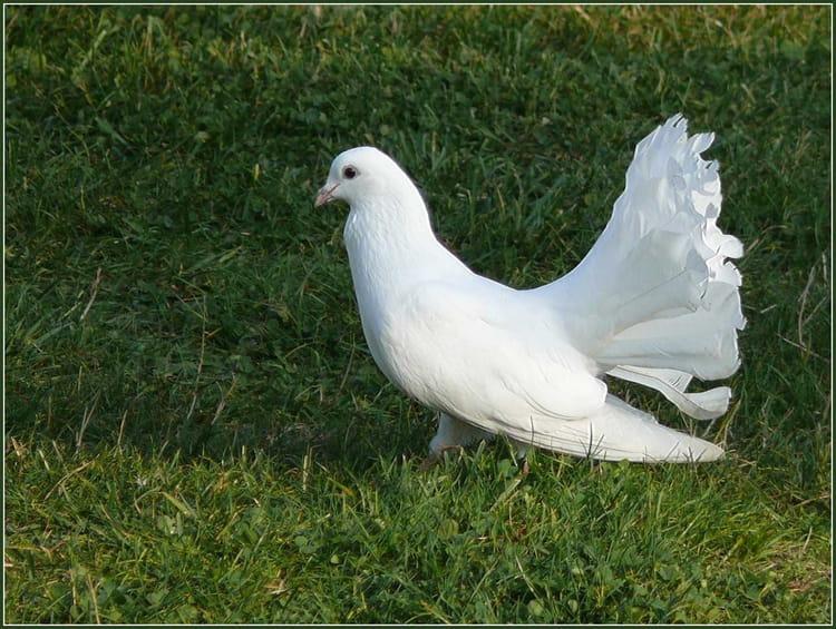 Pigeon paon par serge agombart sur l 39 internaute - Se debarrasser des pigeons ...