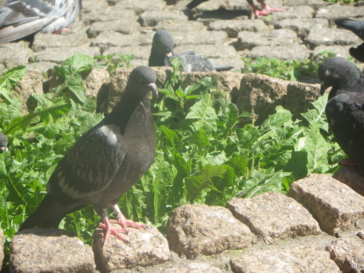 Pigeons par isabelle taras sur l 39 internaute - Se debarrasser des pigeons ...