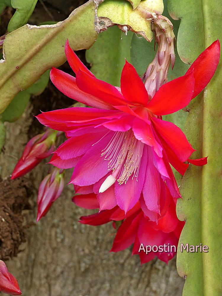 Pitaya, fleurs du dragon ou belle de nuit par Marie Apostin sur L'Internaute