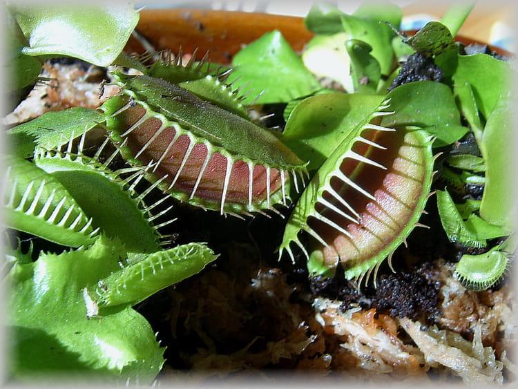 plante carnivore par martine guilbert pellet sur l 39 internaute. Black Bedroom Furniture Sets. Home Design Ideas