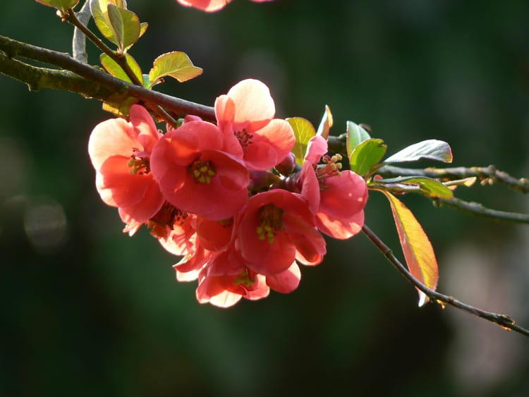 Pommier du japon par rene claude duteurtre sur l 39 internaute - Pommier du japon fruit ...