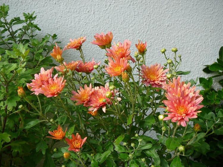 Pot e de chrysanth me d 39 t par jacqueline dubois sur l - Chrysantheme entretien ...