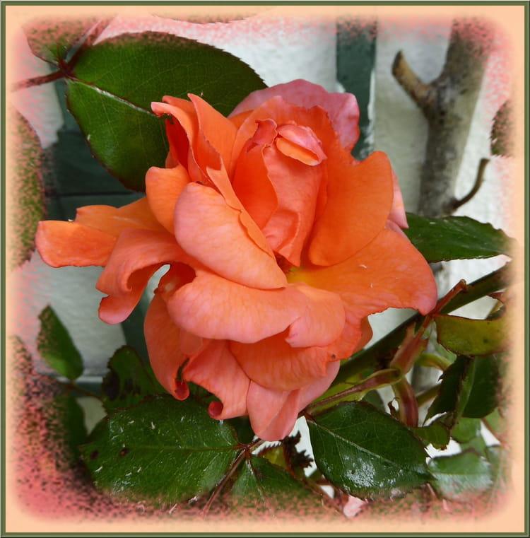 Pour vous la premi re rose de mon jardin par jacqueline for Jardin pour vous