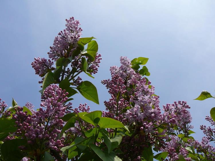 Quand les lilas refleuriront par jacqueline dubois sur l - Quand tailler les lilas ...
