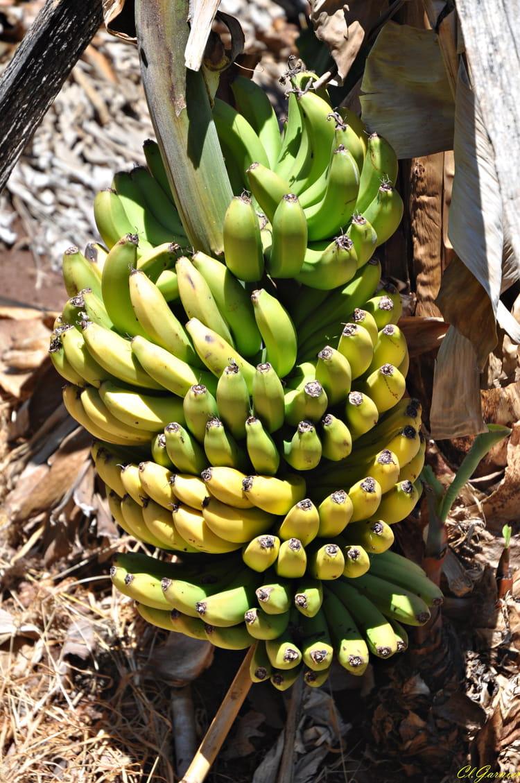 regime de bananes par claude garnier sur l 39 internaute. Black Bedroom Furniture Sets. Home Design Ideas
