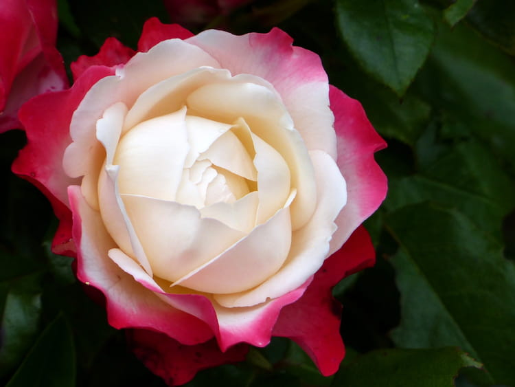 rose-bicolore-2032472686-1692430