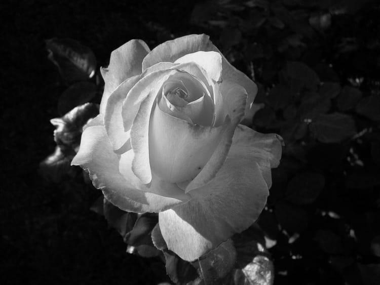 rose gaujard en noir et blanc par jacqueline dubois sur l 39 internaute. Black Bedroom Furniture Sets. Home Design Ideas
