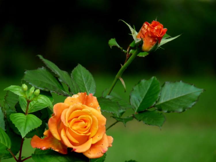 rose orange et son bouton par malou troel sur l 39 internaute. Black Bedroom Furniture Sets. Home Design Ideas