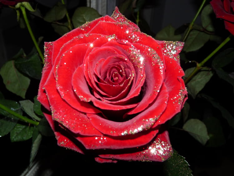 rose rouge pour no l par georgette bironneau sur l 39 internaute. Black Bedroom Furniture Sets. Home Design Ideas