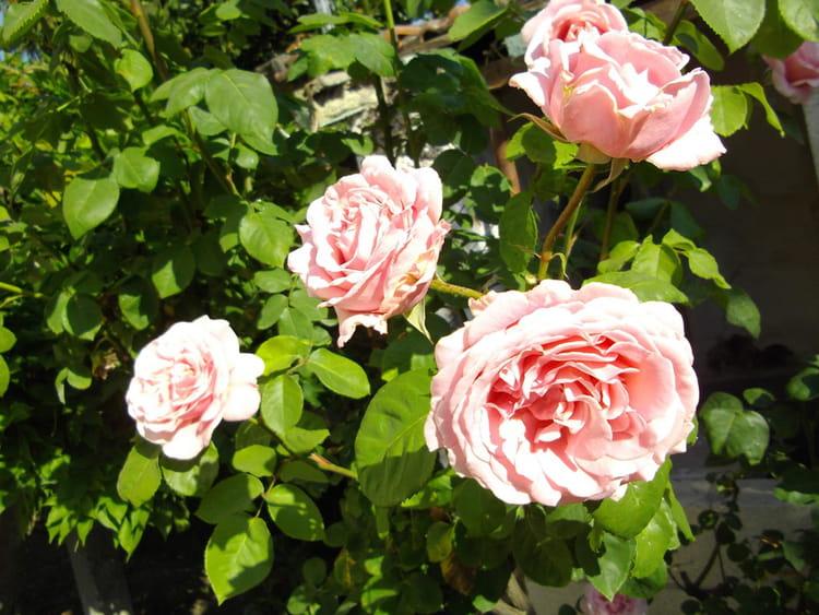 roses fr d ric mistral en bouquet par maryse alexis sur l. Black Bedroom Furniture Sets. Home Design Ideas