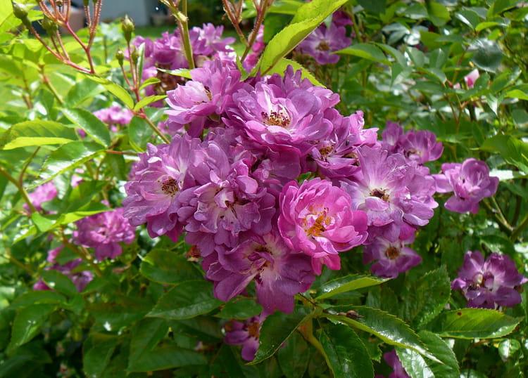 rosier inconnu petites fleurs mauves par jacqueline dubois sur l 39 internaute. Black Bedroom Furniture Sets. Home Design Ideas