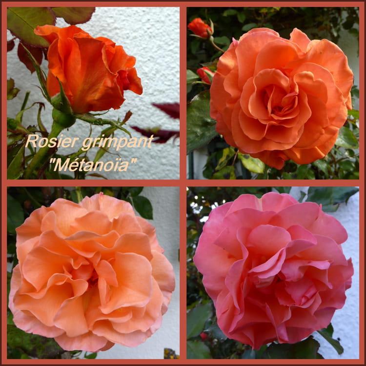 Rosier m tano a m tamorphose de la couleur des roses par - Rosier mange par des chenilles ...