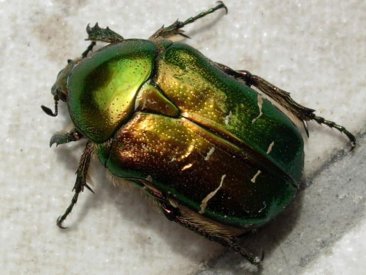 http://image-photos.linternaute.com/image_photo/750/scarabee-dore-4449426532-872779.jpg
