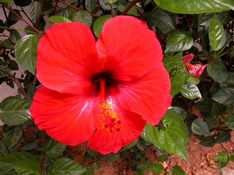 Un hibiscus rouge par helene magana sur l 39 internaute for Hibiscus exterieur rouge