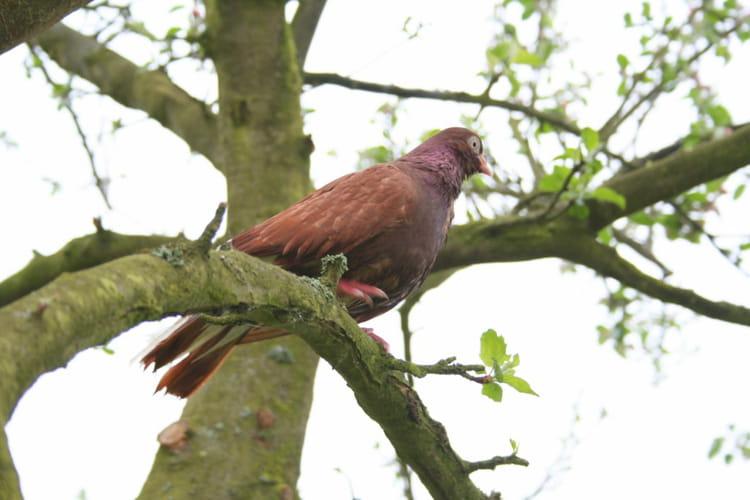 Un pigeon voyageur par bernard enrici sur l 39 internaute - Se debarrasser des pigeons ...