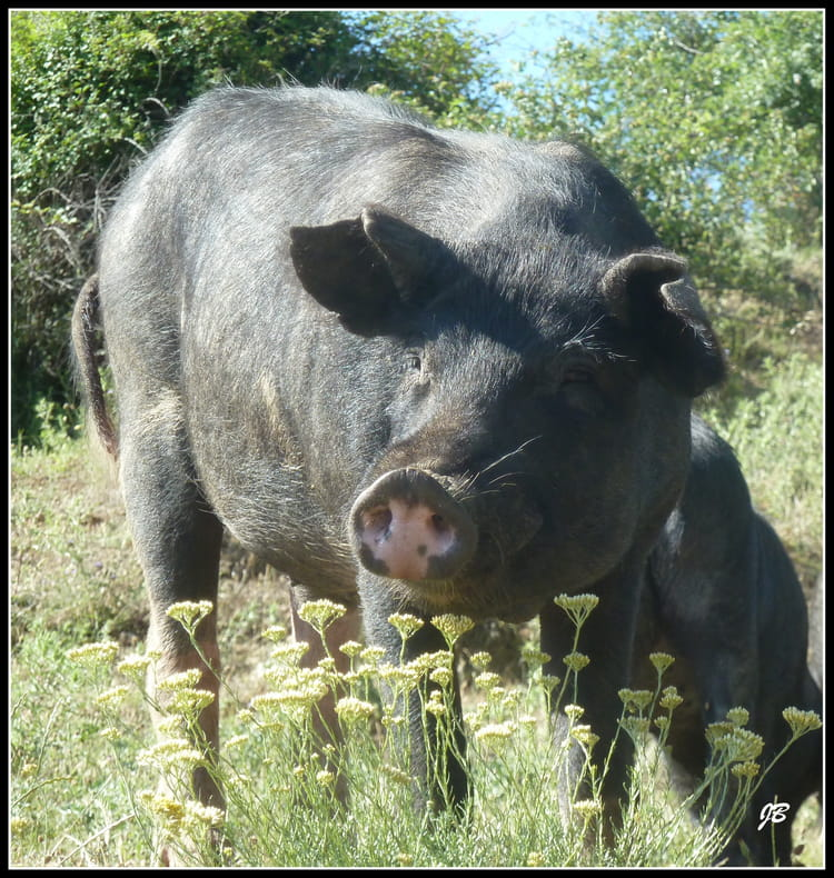 Une vraie t te de cochon par jacques bachelot sur l 39 internaute - Tete de cochon a colorier ...